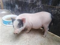 出售一只母宠物巴马香猪(两头乌,荷包猪)两个月令体重约十斤,聪明可爱。