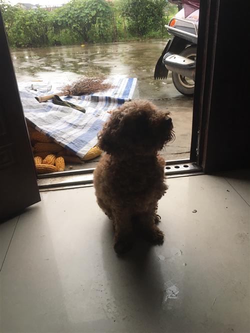 泰迪寵物狗母的