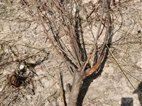 风景树,低价出售……价格面议。