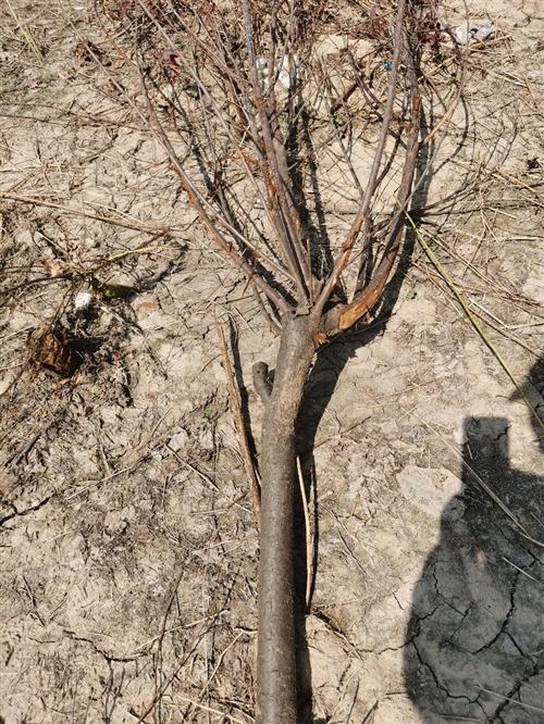 風景樹,低價出售……價格面議。