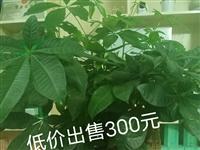 店里放不下这么多盆栽,刚买不久,有需要的可联系我!15083918999曾
