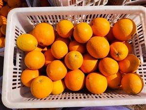 本人吉潭有一万斤脐橙,打霜前采摘的