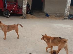 农家狗销售