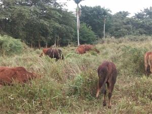 本地小黄牛群出售可以单独分开售