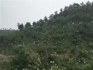 转让:乐山市夹江县中兴镇附近耙耙柑3年果园