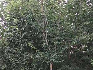 肃州区上坝东榆树出售