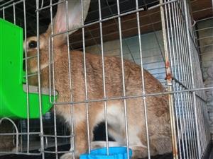 长期出售满月兔商品兔