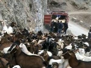 求购  波尔山羊种羊一只