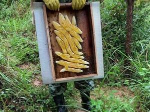 摆贝苗寨土蜂蜜、五倍子蜂蜜