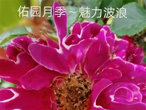 百种月季花玫瑰花批发零售