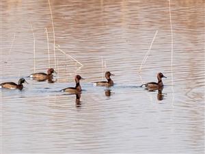 我县首次发现国家一级重点保护动物―青头潜鸭