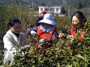 桐城:志愿者助�r采茶;�`行雷�h精神