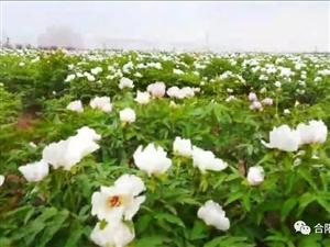 合阳旅游文化节牡丹嘉年华活动4月10―11日在坊镇举行