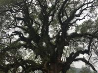 为寻乌50年古树名木,建档立卡!共创国家园林县城!