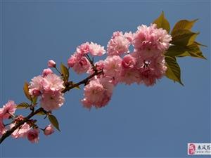 又是一年樱花开  年年樱花逗人爱