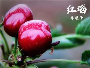 """喜讯 520表白季!为爱放价,旬阳""""红瑙""""车厘子全线热售中"""