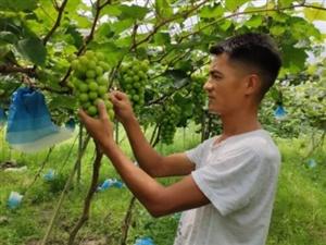 普觉镇:葡萄香满园 采摘正当时