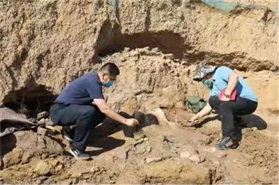 重大�l�F!汝州河道�@�F古象盆骨化石,距今已有200多�f年!