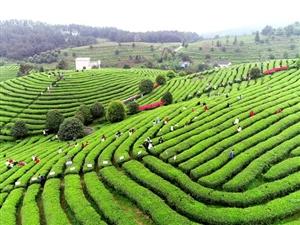 思南:夏茶采摘忙,茶�r增收��