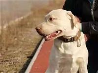 昨日!豁口镇108国道附近走失一只浅黄色成年拉布拉多小狗!主人急寻,有重谢!