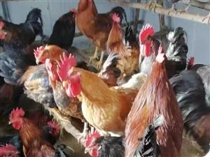 出售本公地&#8236鸡、本鸡地&#8236蛋,现接预受&#8236定,数量有限纯!
