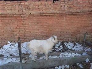 卖过年能杀的山羊小耙羔,五十左右斤。