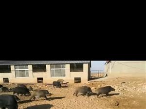 出售散养黑猪  三代野猪