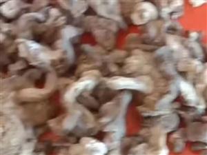 送礼的看过来,纯天然的地抠蘑菇,去根无土