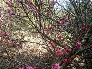 梅花树出售