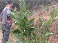 河岭村有一片果山转让,种有2年龄普早400多株