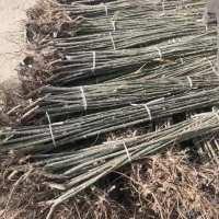 大量出售新疆杨,馒头柳,垂柳。桃树,李广杏,毛柳,红柳