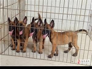 出两只40天正宗马犬幼犬,(母,母)看家护院娱乐玩狗首选