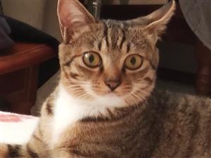 狸花猫,预产期15天,一个月内可带走