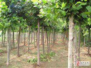 法桐、槐樹、紫葉李、白蠟等綠化苗木低價出售