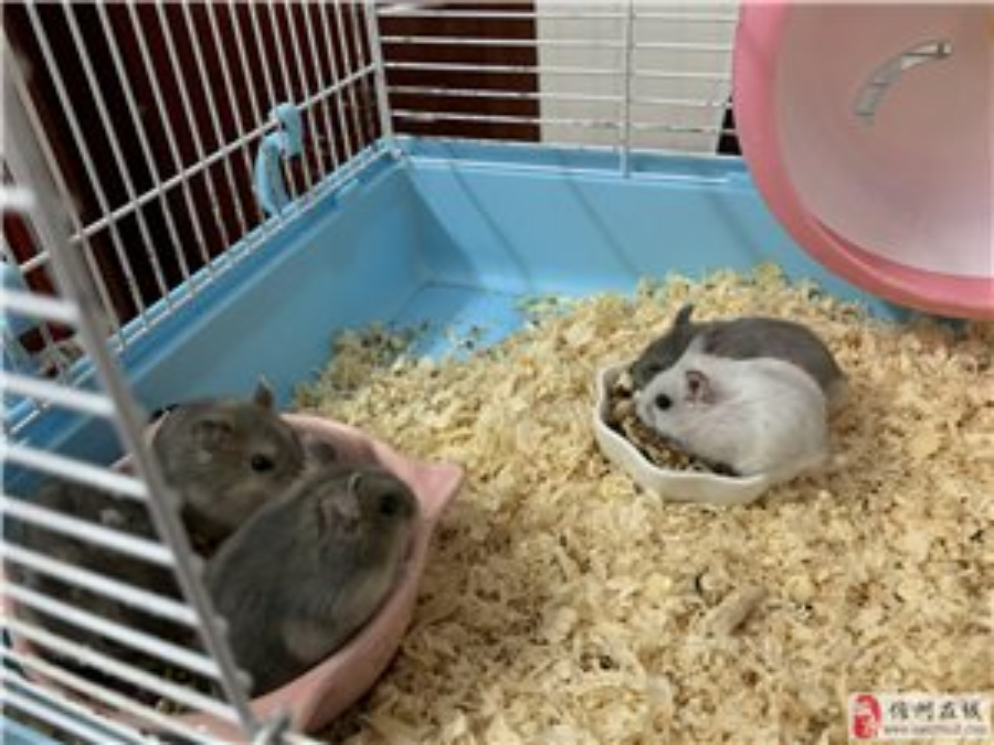 自家�B的�}鼠出售。(只有紫�}和�y狐)