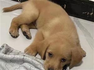 出售拉布拉多狗狗