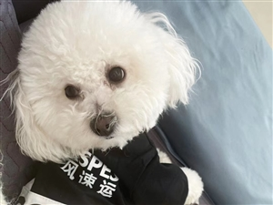 【寻狗启事】一岁白色比熊丢失,忘好心人捡到请联系我
