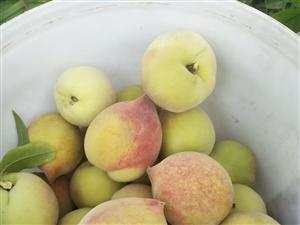 免费果园吃桃子,自由采摘,喜欢桃子来看一下