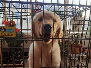 3个月大金毛母犬,进口疫苗驱虫全做,新年