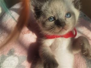 泰国仙逻猫