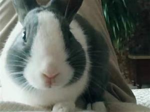 道奇侏儒兔出售