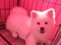 出售6个半月纯种标体博美狗