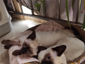 精品纯种暹罗猫猫
