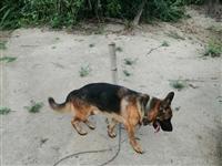 出售成年德牧种公两岁,德国牧羊犬