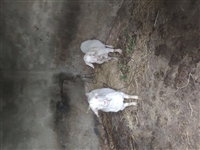 董市自养两个母山羊,未下崽,大的80斤左右,小的70斤左右,没人养,21/斤,有人要的联系15587...