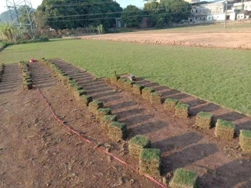 因工程完工,现还有50捆精品台湾草草皮,可用于小区别墅花园绿化、道路护坡绿化、足球场高尔夫球场绿化,...