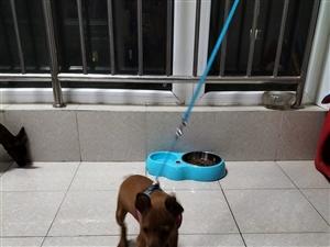 小鹿犬,三个月,小男狗,疫苗已打全。因在楼上不方便养,有喜欢的领走。