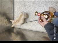 自家养的狗狗  法国斗牛犬奶白色  因自身原因想出售  价格好商量对狗狗好就行