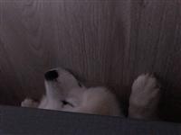 萨摩耶一条,爱犬人士可以联系,送