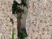 大盆发财树,因公司倒闭,原价280多,现150卖出,可小刀